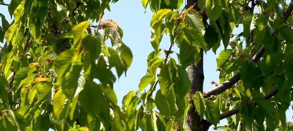 Lejárt a határidő - 2341 gazda jelezte, hogy fagykár érteNyíregyháza -  Elkészítette az első összesítést a megyei agrárkamara. A leginkább a nagykállói és a nyírbátori járásban károsodott a gyümölcsös.