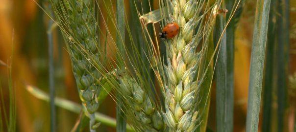 Jön Péter-Pál - idén jó búzatermés várható a gazdák szerintTímár - Az esős időjárás miatt még fontosabb a növényvédelem idén nyáron a búzatermesztésben.