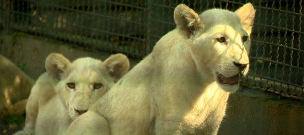 2017.07.25. oroszlan felevesek lettek