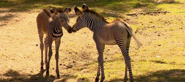 2017.07.28. ujabb grevy-zebra szuletett