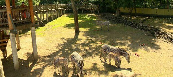 2017.08.08. egyutt a zebracsalad