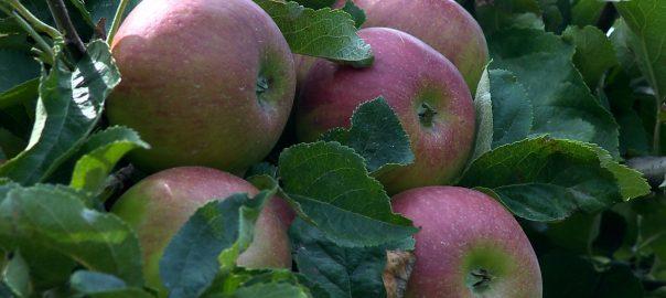 merre tovabb szabolcsi alma
