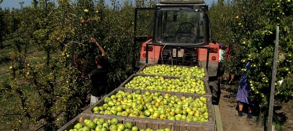 Egyre nehezebben találnak a magyar gazdák mezőgazdasági idénymunkást.