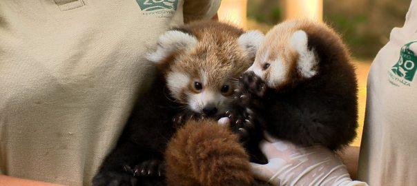 Két pandával gazdagodott a Nyíregyházi Állatpark.