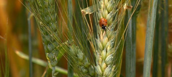 A megszokottnál két héttel korábban befejeződött az aratás hazánkban.