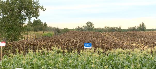 A megyében várhatóan mind a kukorica-, mind a napraforgótermés elmarad az országos átlagtól.