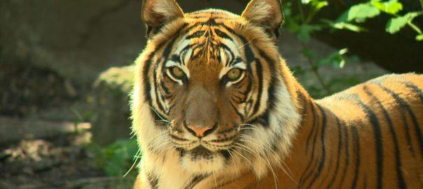 tigrisek vilagnapja